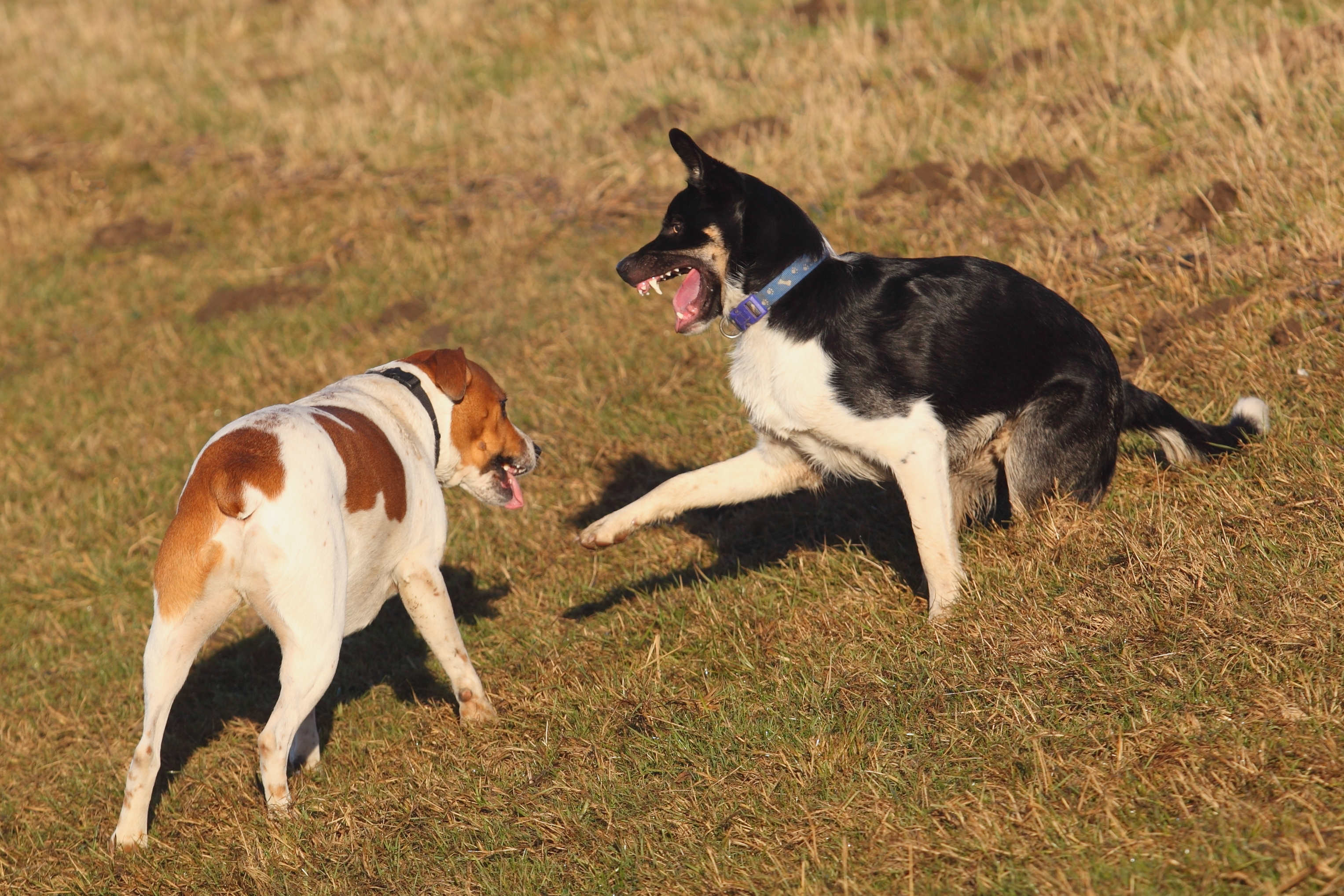How Important is Dog-Dog Play? | Flying Colors Canine Academy  |Dog Play