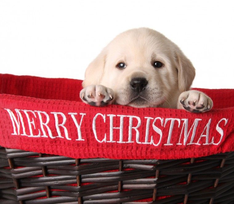 4 Things to Do Right Away With Your Christmas Puppy | Robin Bennett