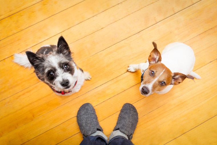 two dogs begging  looking up to owner begging  for walk and play ,on the floor inside their home